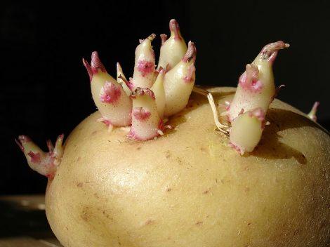 Для чего употребляют ростки картофеля настоянные на водке